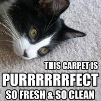 Kitty laying on carpet cleaned by Only Way Carpet cleaners